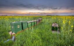 Rad av bikupor i ett canolafält Royaltyfri Bild