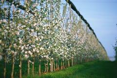 Rad av blommande unga äppleträd i vårtid Royaltyfri Bild