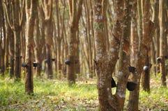 Rad av den para gummiträdet i Rubber knackning för koloni Arkivfoto