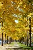 Rad av ginkgoträd i guld- höst fotografering för bildbyråer