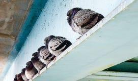 Rad av gråa duvor som sitter på stålstråle Arkivbilder