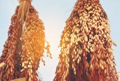 Rad av grova spiken eller öron av ris Royaltyfri Foto