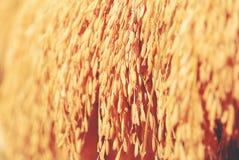 Rad av grova spiken eller öron av ris Royaltyfri Fotografi