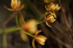 Rad av gula orkidér Royaltyfri Foto