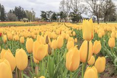 rad av gula tulpan som växer på en tulpanlantgård royaltyfri bild