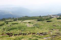 Rad av hästar som är höga i bergen Arkivbild