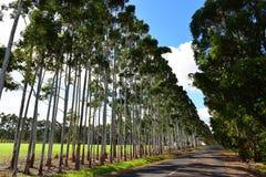 Rad av högväxta karriträd Arkivbilder