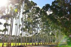 Rad av karriträd längs vägen Royaltyfria Bilder