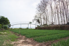 Rad av lökar som växer i jord Royaltyfria Bilder