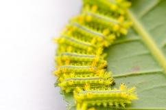 Rad av larven som äter bladet arkivfoto