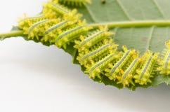 Rad av larven som äter bladet royaltyfri bild