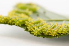 Rad av larven som äter bladet royaltyfri fotografi