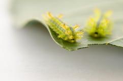 Rad av larven som äter bladet royaltyfria foton