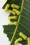 Rad av larven som äter bladet fotografering för bildbyråer