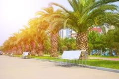 Rad av palmträd längs en fot- väg med bänkar Fotografering för Bildbyråer