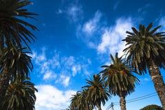 Rad av palmträd mot en blå himmel, oas Royaltyfri Bild