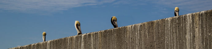 Rad av pelikan Royaltyfria Foton