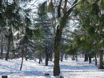Rad av Pine träd under snö laden jordning Arkivbild