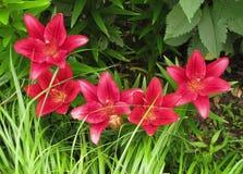 Rad av röda liljor under gräs royaltyfri bild
