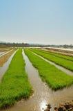 Rad av ricefältet Royaltyfri Bild