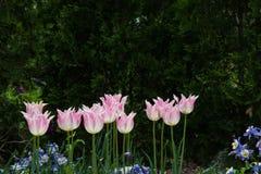 Rad av rosa blomma för tulpan som är högväxt i trädgården Arkivbilder