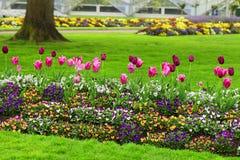 Rad av rosa och rödbruna tulpan och petunior Arkivbild