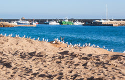 Rad av seagulls på stranden i Costa Brava Arkivbilder