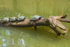 Rad av sköldpaddor Royaltyfria Foton