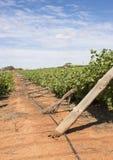 Rad av skadade Chardonnay för vind vinrankor Arkivbilder