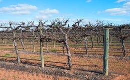 Rad av slingra sig Chardonnay vinrankor Arkivbilder