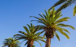 Rad av stora härliga palmträd - klar himmelbakgrund royaltyfri foto