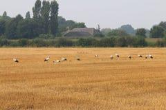 Rad av storkar i holländska fält, Brummen Fotografering för Bildbyråer