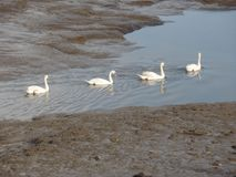 Rad av svanar i floden royaltyfri fotografi