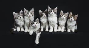 Rad av svart strimmig katt sju med vita Maine Coons katter Fotografering för Bildbyråer
