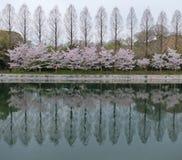 Rad av träd med Cherry Blossom Flowers Blooming vid sjön på skymning Royaltyfri Bild