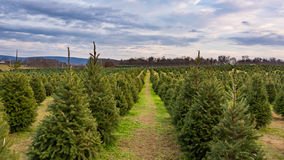 Rad av träd på julgranlantgården Royaltyfri Foto