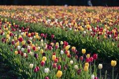 Rad av tulpan på en tulpanlantgård Royaltyfri Fotografi