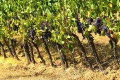 Rad av vingårdar Slight blur i löpare för att visa rörelse italy tuscany Fotografering för Bildbyråer