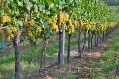 Rad av vingården med gröna druvor royaltyfria bilder