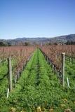 Rad av vinodlingdruvavinrankor på den Kalifornien vinodlingen Royaltyfri Fotografi