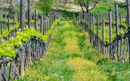 Rad av vinrankor i Chiantiområdet arkivfoton