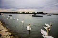Rad av vita svanar på floden Fotografering för Bildbyråer