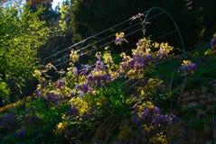 Rad av wisteriaen som tänds av strålarna av solen arkivfoton