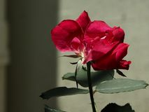 Rad-Blumen Stockfoto