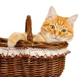 Rad cat sitting in the bascket. Rad cat kitten sitting in the bascket on a white background Royalty Free Stock Image