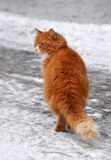 Red cat snow Stock Image
