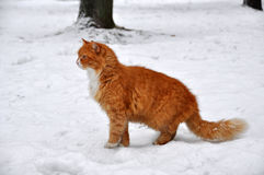 Red cat snow Royalty Free Stock Images