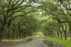 rad för live oaks Arkivfoto