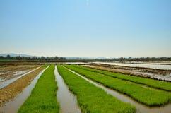 Rad fyra av risfältet Royaltyfri Foto