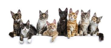 Rad/grupp av åtta mång- kulöra Maine Coon kattkattungar som isoleras på en vit bakgrund royaltyfri foto